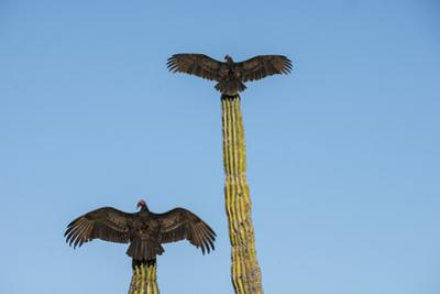 Turkey vultures on Cardon cacti, morning warm-up, San Ignacio, Baja California, Mexico, North Ameri