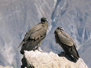 Two Condors at Cruz Del Condor, Colca Canyon, Peru, South America by Tony Waltham