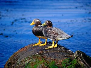 Two Flightless Steamer Ducks on Relic, San Carlos, East Falkland, Falkland Islands by Tony Wheeler