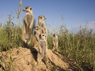 Group of Meerkats, Kalahari Meerkat Project, Van Zylsrus, Northern Cape, South Africa