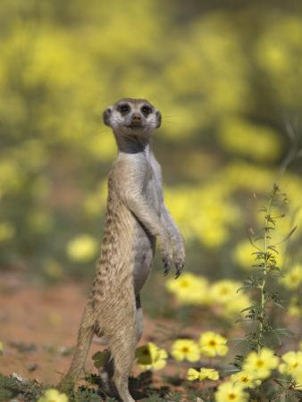 Meerkat, Among Devil's Thorn Flowers, Kgalagadi Transfrontier Park, Northern Cape, South Africa by Toon Ann & Steve