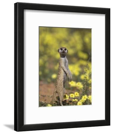 Meerkat, Among Devil's Thorn Flowers, Kgalagadi Transfrontier Park, Northern Cape, South Africa