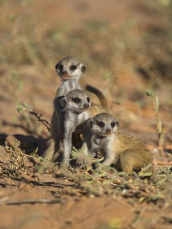 Young Meerkat, Kgalagadi Transfrontier Park, Northern Cape, South Africa