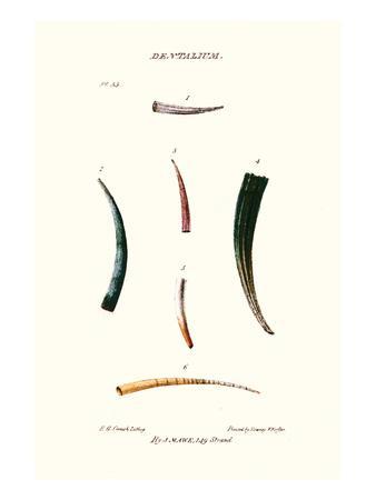 Tooth Shells-John Mawe-Art Print