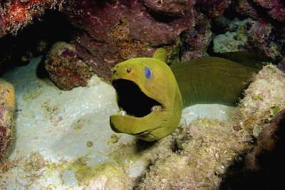 Toothless Green Moray Eel, Nassau, the Bahamas-Stocktrek Images-Photographic Print