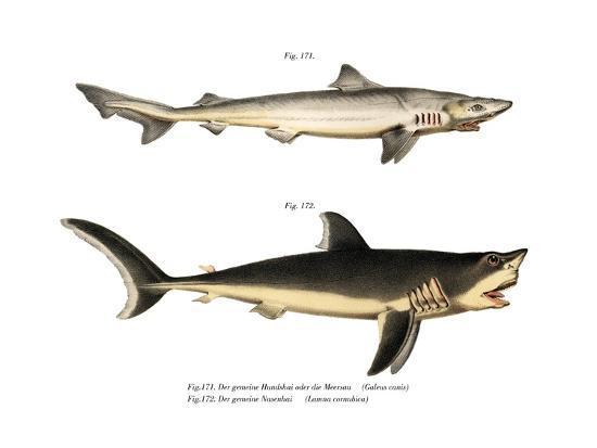 Tope Shark--Giclee Print