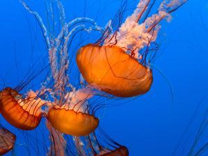 Jellyfish by topseller