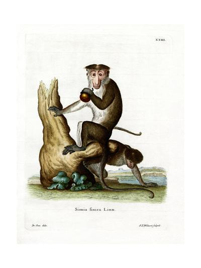 Toque Macaque--Giclee Print