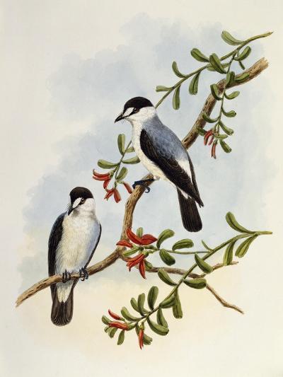 Torrent Robin (Monachella Muelleriana)--Giclee Print