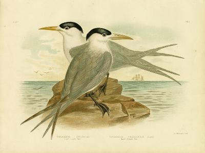 Torres Straits Tern, 1891-Gracius Broinowski-Giclee Print