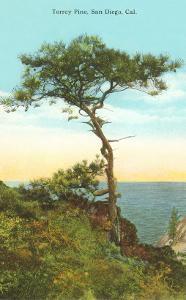 Torrey Pine Tree, San Diego, California