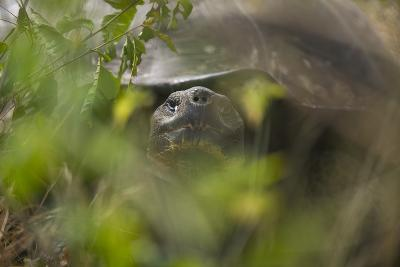 Tortoise Peering through the Leaves-DLILLC-Photographic Print