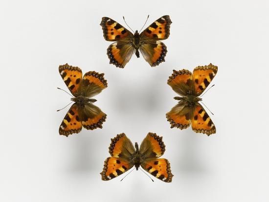 Tortoiseshell Butterflies--Photographic Print
