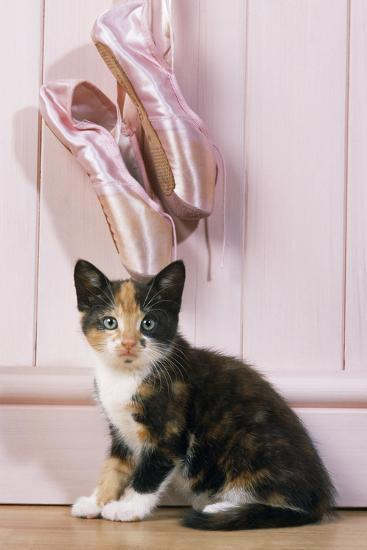 19a9c6ef5a7d2 Tortoiseshell Cat Kitten with Ballet Shoes Photographic Print by | Art.com