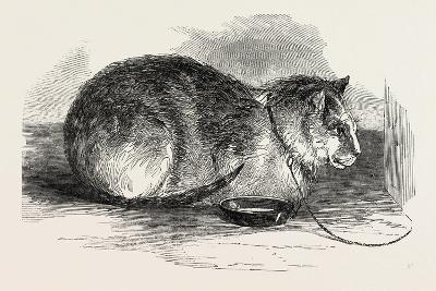 Tortoiseshell Tom Cat--Giclee Print