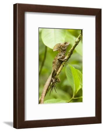 Tortuguero, Costa Rica. Brown, Striped or common basilisk (Basiliscus vittatus) climbing a tree.-Janet Horton-Framed Photographic Print