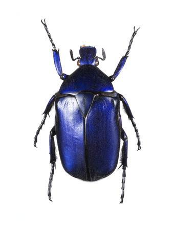 https://imgc.artprintimages.com/img/print/torynorrhina-flower-beetle_u-l-pzh9z60.jpg?p=0