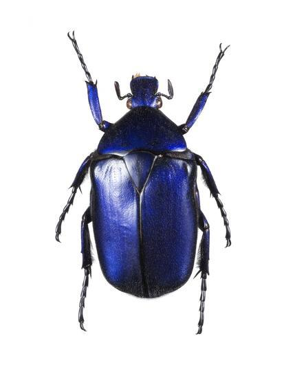 Torynorrhina Flower Beetle-Lawrence Lawry-Photographic Print