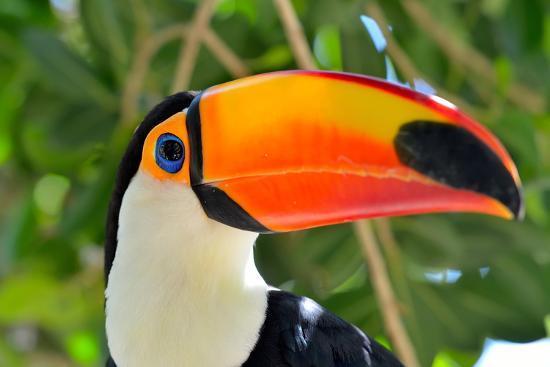Toucan Outdoor - Ramphastos Sulphuratus-mirceab-Photographic Print