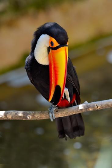 Toucan Outdoor - Ramphastos Sulphuratus-geanina bechea-Photographic Print