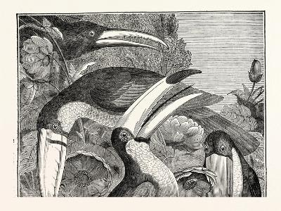 Toucans--Giclee Print