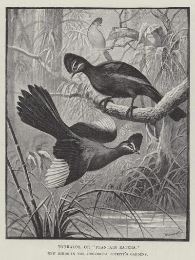 Touracos, or Plantain Eaters, New Birds in the Zoological Society's Gardens-Alexander Francis Lydon-Giclee Print