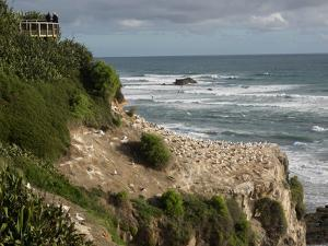 Tourists on viewing platform looking at gannet bird colony, Muriwai Beach, Auckland, North Islan...