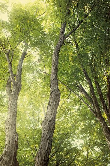 Towering Maples II-Elizabeth Urquhart-Photo