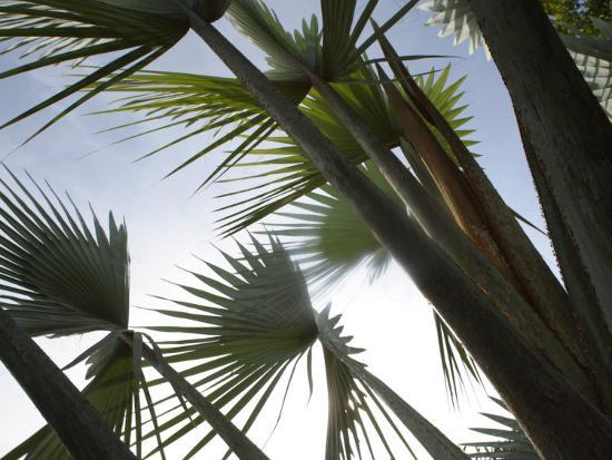 Towering Tropical Palm Tree Branches--Photographic Print