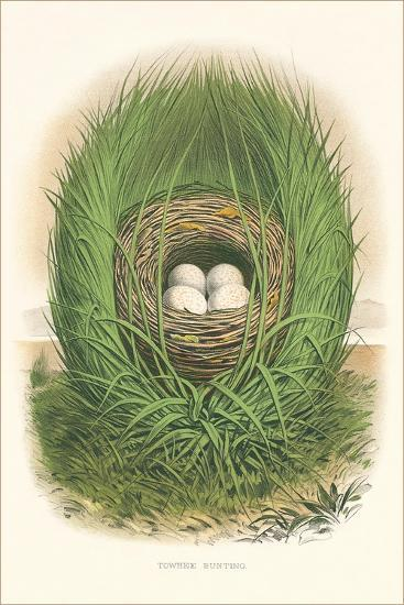 Towhee Bunting Nest and Eggs--Art Print