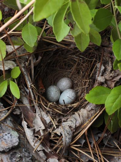 Towhee Nest with 3 Eggs in It. Towhees are Ground Nesting Birds-George Grall-Photographic Print