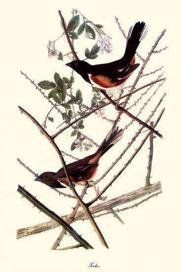 Towhee-John James Audubon-Giclee Print