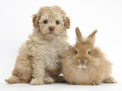 Toy Labradoodle Puppy and Lionhead-Cross Rabbit-Mark Taylor-Photographic Print
