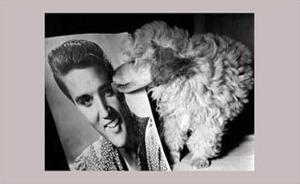 Toy Poodle Kisses Elvis