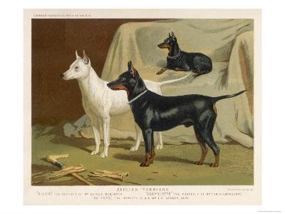 Toy Terrier, White Terrier, Black and Tan Terrier--Giclee Print