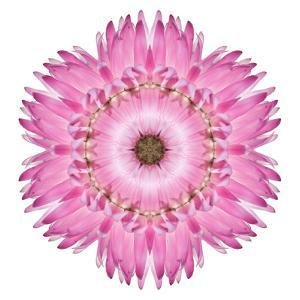 Pink Strawflower Flower Kaleidoscope by tr3gi