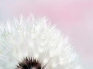 Pink Dandelion 2 by Tracey Telik