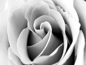 White Noise Rose 3 by Tracey Telik