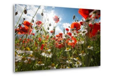 A Large Field of Poppies and Daisies Near Newark in Nottinghamshire, England Uk