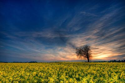 Sunset over a Field of Rapeseed, Near Risley in Derbyshire England UK