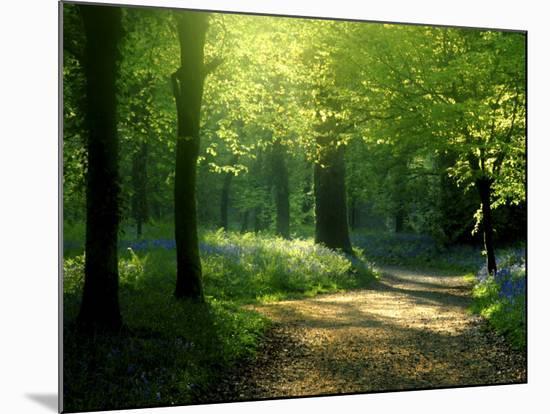 Track Leading Through Lanhydrock Beech Woodland with Bluebells in Spring, Cornwall, UK-Ross Hoddinott-Mounted Print