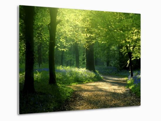 Track Leading Through Lanhydrock Beech Woodland with Bluebells in Spring, Cornwall, UK-Ross Hoddinott-Metal Print