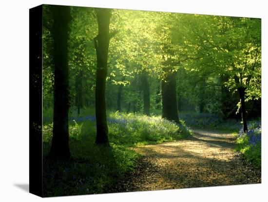 Track Leading Through Lanhydrock Beech Woodland with Bluebells in Spring, Cornwall, UK-Ross Hoddinott-Stretched Canvas Print