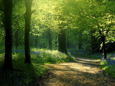 Track Leading Through Lanhydrock Beech Woodland with Bluebells in Spring, Cornwall, UK-Ross Hoddinott-Photographic Print