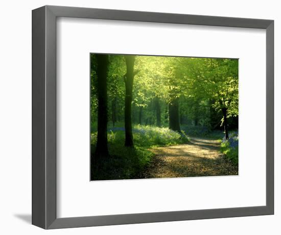 Track Leading Through Lanhydrock Beech Woodland with Bluebells in Spring, Cornwall, UK-Ross Hoddinott-Framed Photographic Print