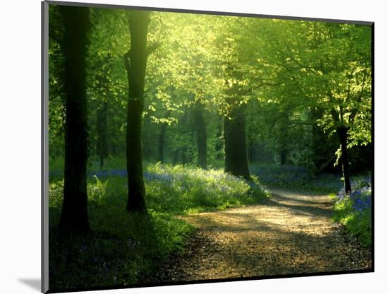 Track Leading Through Lanhydrock Beech Woodland with Bluebells in Spring, Cornwall, UK-Ross Hoddinott-Mounted Photographic Print