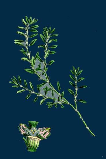 Tragopogon Porrifolius; Salsify--Giclee Print