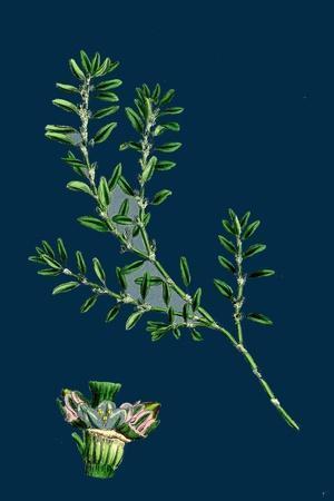 https://imgc.artprintimages.com/img/print/tragopogon-porrifolius-salsify_u-l-pvg5rm0.jpg?p=0