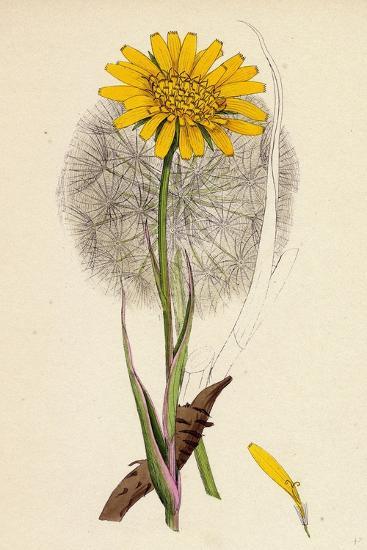 Tragopogon Pratensis Var. Grandiflorus Yellow Goat's-Beard Var. Y--Giclee Print