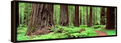 Trail, Avenue of the Giants, Founders Grove, California, USA--Framed Canvas Print